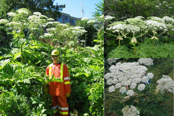 A picture of Giant Hogweed